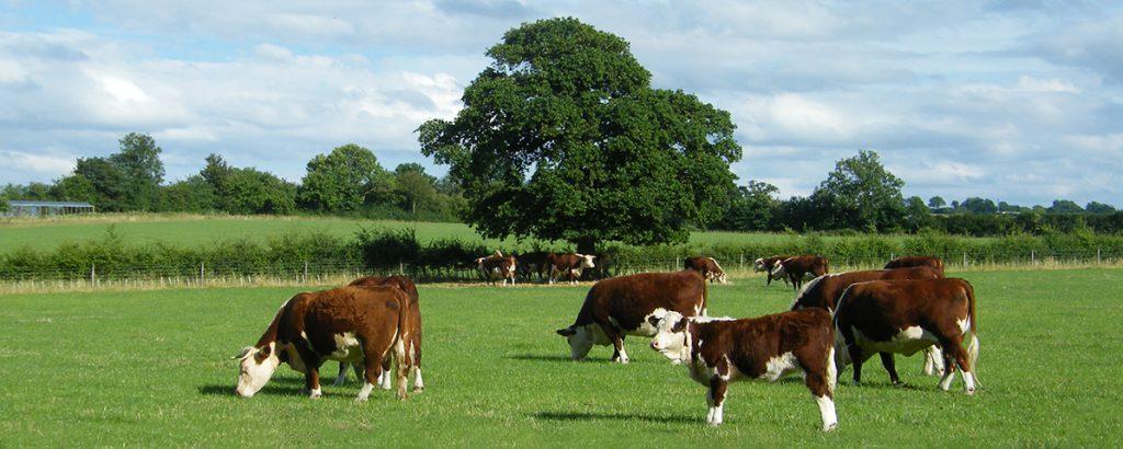 Hereford Suckler herd, Rush Farm